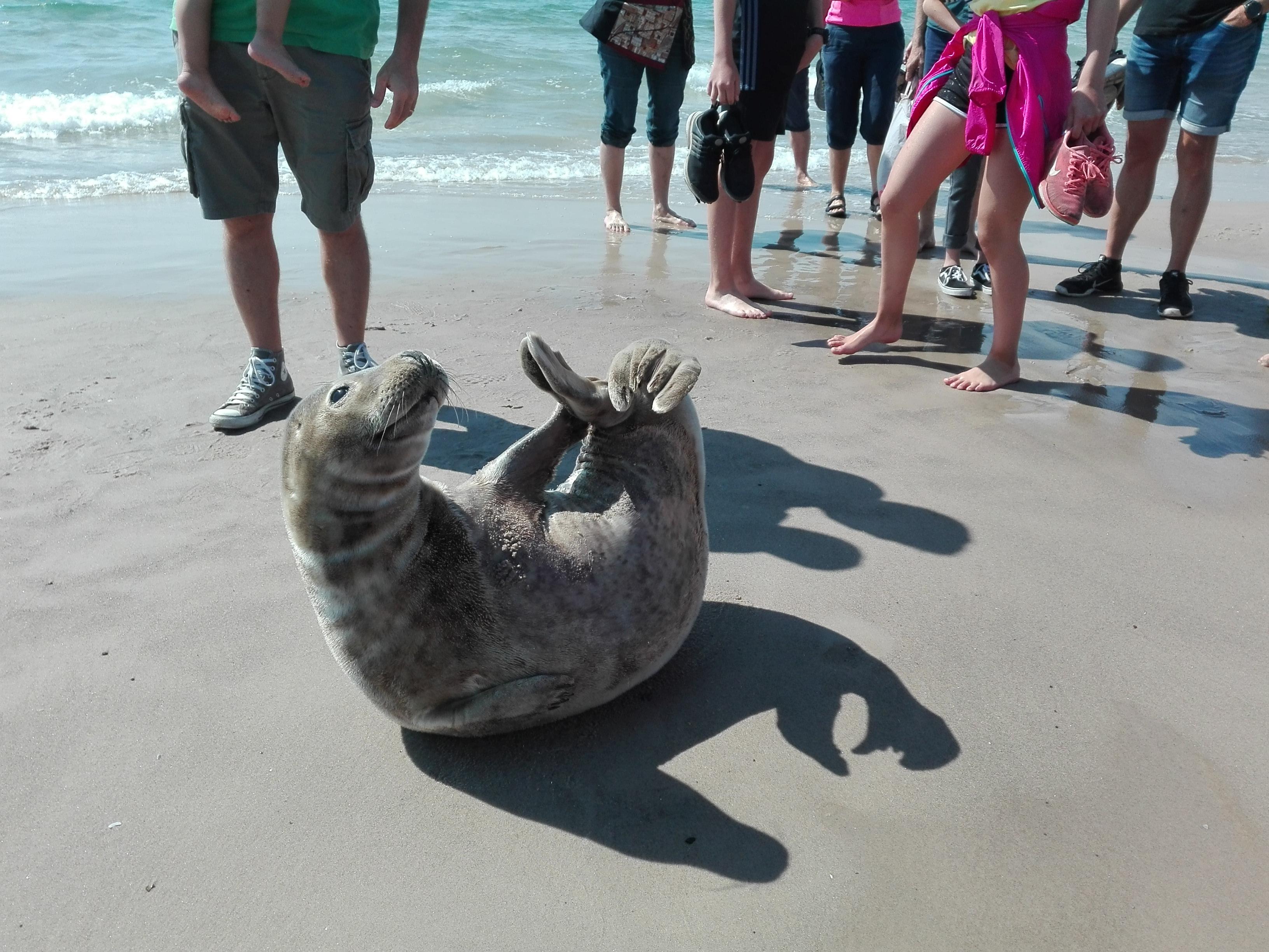 Cucciolo di foca a Skagen